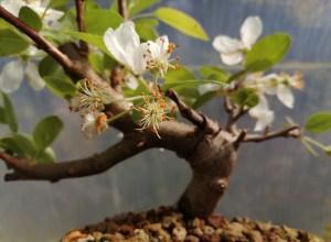 Flowering Crab Apple Bonsai Tree in training