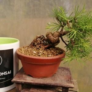 Japanese Larch Mini Bonsai