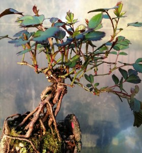 Dwarf Rose flowering Bonsai
