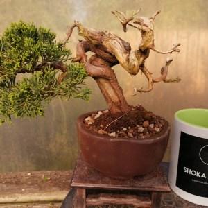Chinese Juniper Shimpaku specimen shohin Bonsai Tree