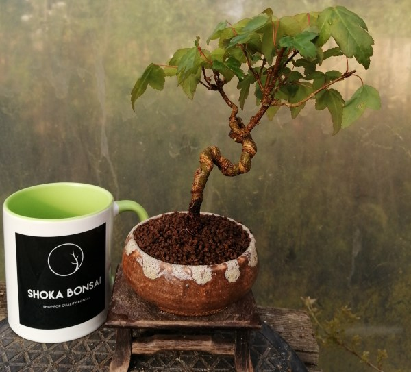 Mame Acer Buergerianum Trident Maple Bonsai Tree