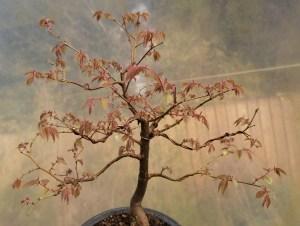 Zelkova Serrata/Japanese Grey Bark Elm Bonsai Tree