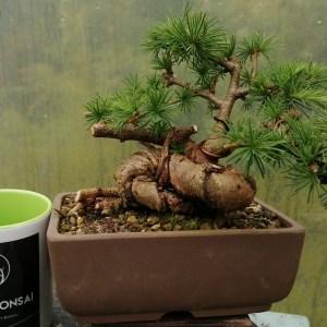 Japanese Larch Shohin Bonsai tree