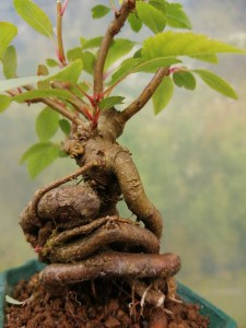 Japanese Crab Apple mini Bonsai Tree