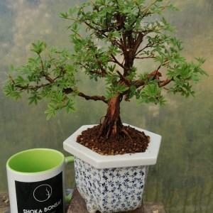 Shohin Potentilla fruticosa bonsai tree