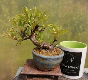 Small Pyracantha Firethorn Bonsai Tree