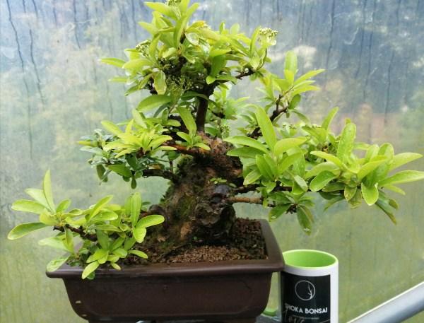 Specimen Pyracantha Firethorn Bonsai Tree