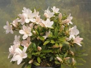 Lovely shrub Satsuki Azalea Kozan Variety