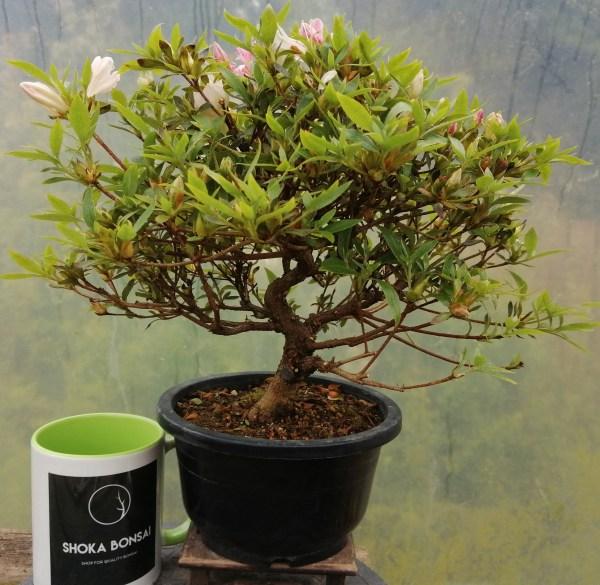 Lovely quality Satsuki Azalea Bonsai tree
