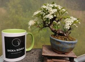 Pyracantha Flowering bonsai tree