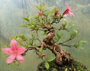 Shohin specimen Satsuki azalea bonsai tree