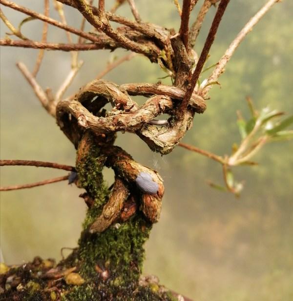 Satsuki Azalea Kinsai shohin Bonsai tree