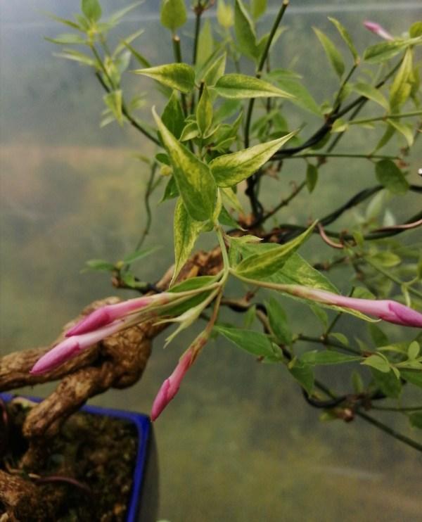 Summer Flowering Jasmine Stephanese Bonsai tree
