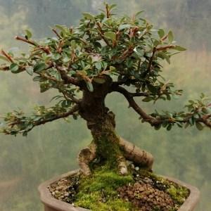 Cotoneaster bonsai tree