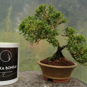 Juniper Itoigawa Shohin Bonsai Tree