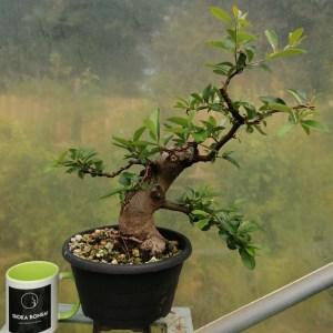 Pyracantha Bonsai Tree with shari in training