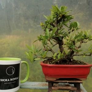 Pyracantha Firethorn Clump style Bonsai Tree