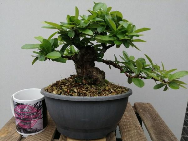 Pyracantha Shohin Bonsai Tree
