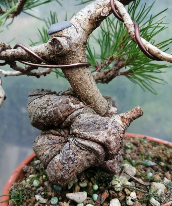 Pinus Sylvestris Scots Pine Shohin Bonsai Material