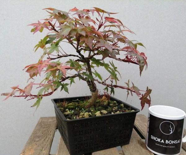 Japanese Maple Acer Palmatum Deshojo Variety Bonsai