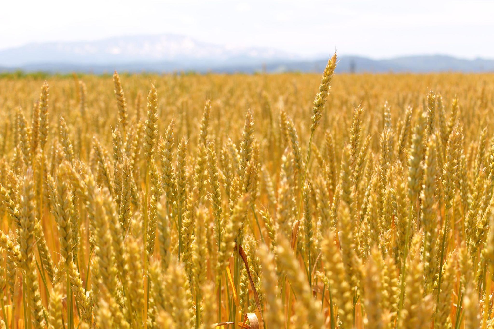 庄内産小麦を楽しむ