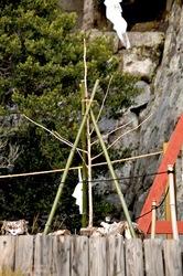 大銀杏倒木から4年の鶴岡八幡宮:若木はすくすく元気いっぱい
