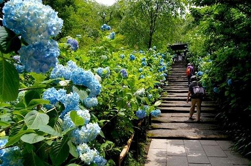 鎌倉の紫陽花(アジサイ)チェック2015:満開の明月院と東慶寺・浄智寺