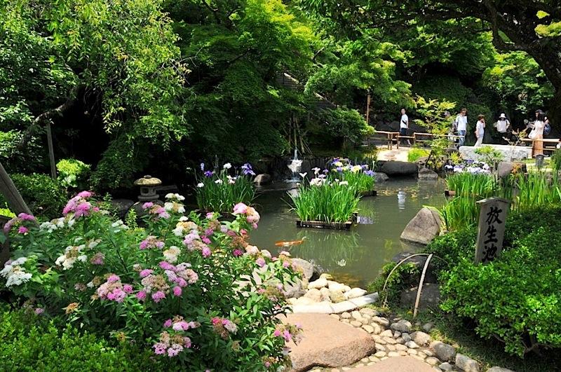 鎌倉の紫陽花(アジサイ)チェック2015:長谷寺の花菖蒲