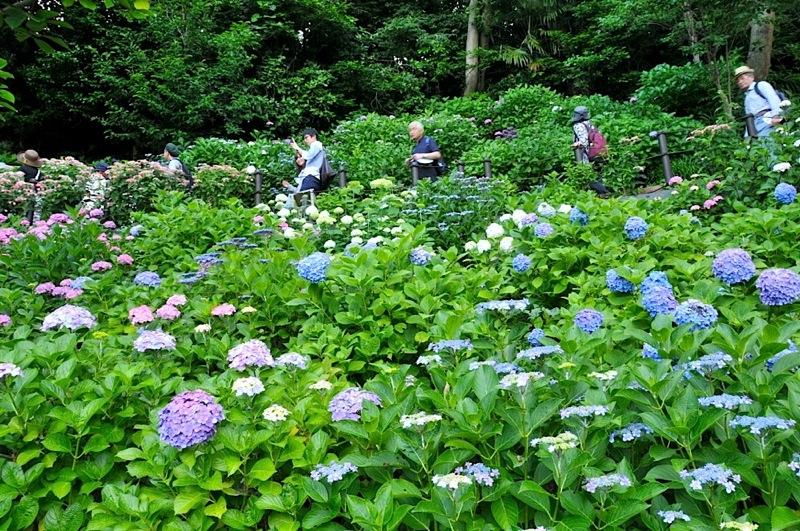 鎌倉の紫陽花(アジサイ)チェック2015:長谷寺の眺望散策路の紫陽花