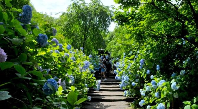 鎌倉の紫陽花(アジサイ)チェック2016:明月院&長谷寺は大絶賛満開中!