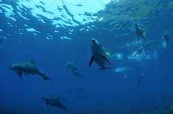 御蔵島でイルカとドルフィンスイム