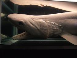 新江ノ島水族館の深海生物展示ラブカ