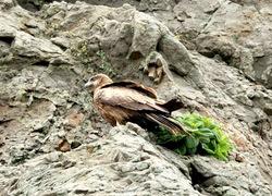 江ノ島のパワースポット江の島岩屋洞窟のトンビ(トビ)