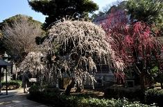 藤沢の梅花チェック常立寺の枝垂れ梅