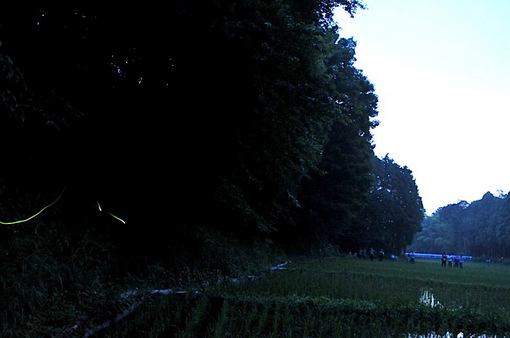 石川丸山谷戸ほたるの里@藤沢でホタル(ゲンジボタル)の撮影