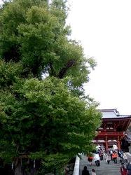 鶴岡八幡宮大銀杏の若芽
