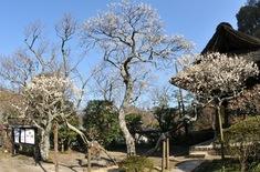 北鎌倉の梅花チェック東慶寺鐘楼の白梅
