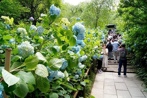 鎌倉の紫陽花(アジサイ)散策2015:北鎌倉の東慶寺・浄智寺・明月院