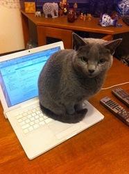 パソコンに乗るネコ(ロシアンブルー)