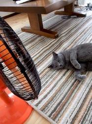 ロシアンブルーの猫ティナ
