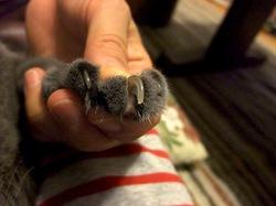 ロシアンブルーネコ/猫ティナの爪切り