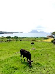 湘南藤沢から五島列島へ宇久島の草原の牛