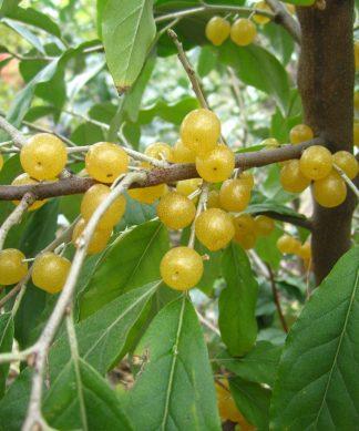 Рідкісні плодові рослини