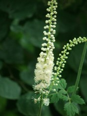 The Black Cohosh is blooming strongly this year after last year's poor showing.