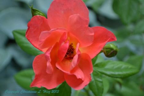 July Rose