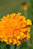 The marigolds are at their peak and add color to the browning landscape.