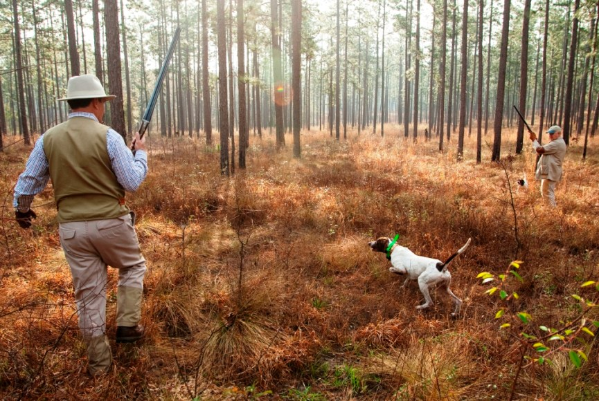 Quail Hunting in the Long Leaf Pine Forest