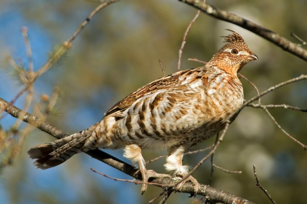MissouriRestocking Ruffed Grouse