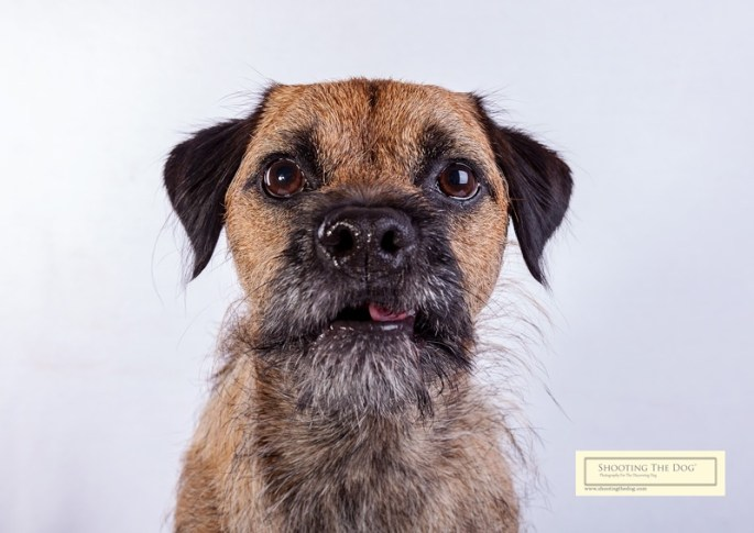 Bouncy Border Terrier