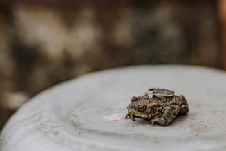 Frog or toad with bride's engagement ring on top